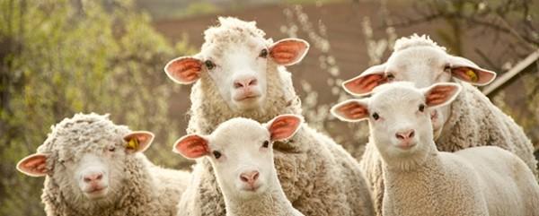 sheep_104360954