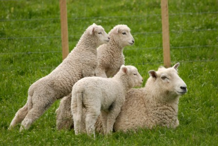 lambs-obesity