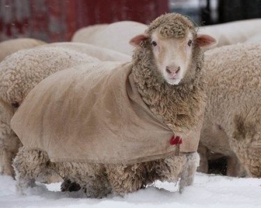 sheep in coat