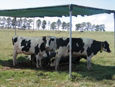 karvės pavėsyje
