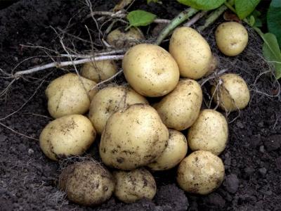 sėklinės bulvės