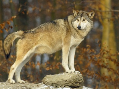 Wolf (Canis lupus), wolf